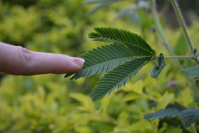 citlivá rostlina